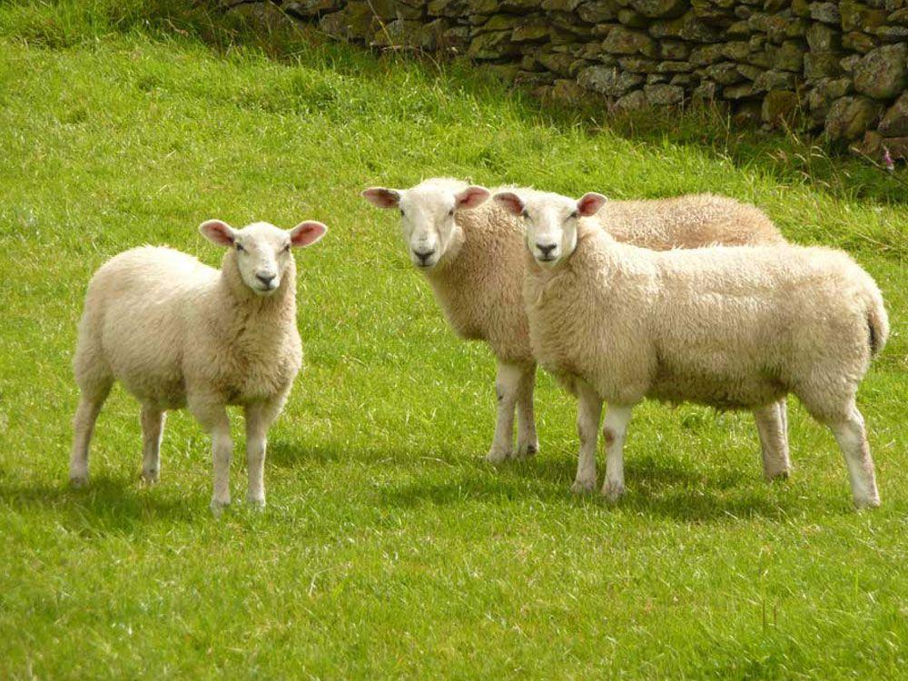 Schafsol Sheep & Goat